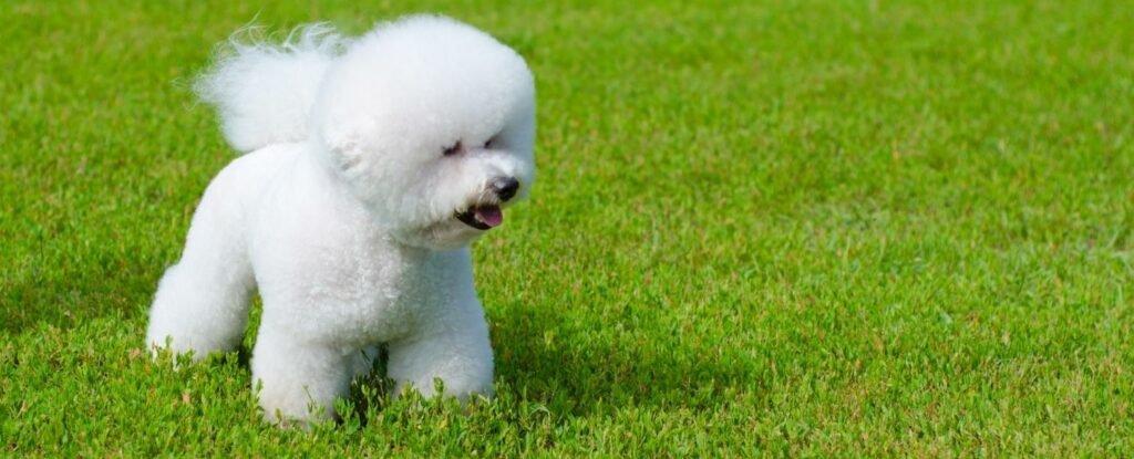 bichon frise is one of the best dog breeds for older adults