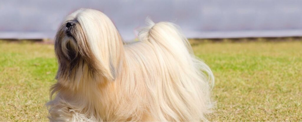the lhasa apso is a spectacular dog for elderly
