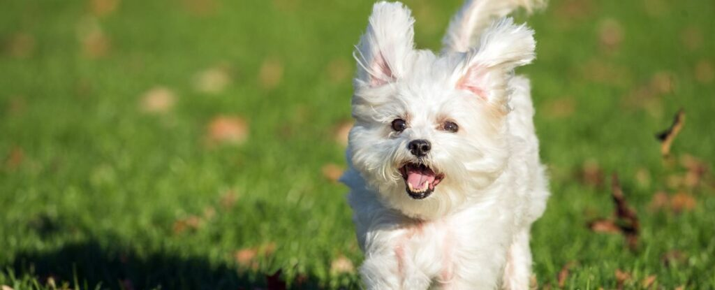 maltese dogs are one of the best dog breeds for seniors
