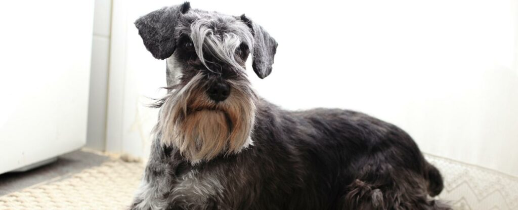 miniature schnauzers are more than cute, they are near perfect dogs for elderly people