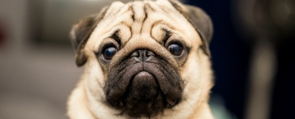 pugs make amazing pets and are certainly one of the best dog breeds for older adults