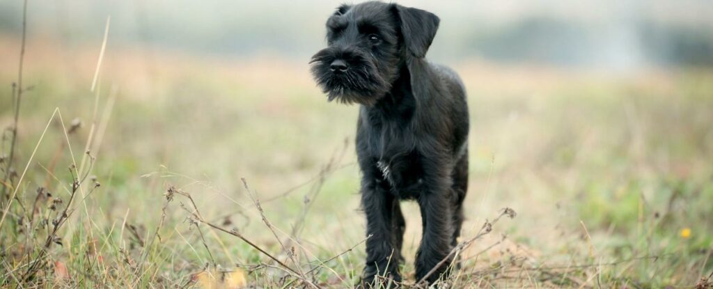 scottish terriers are the final dog on our list of the best dogs for older adults