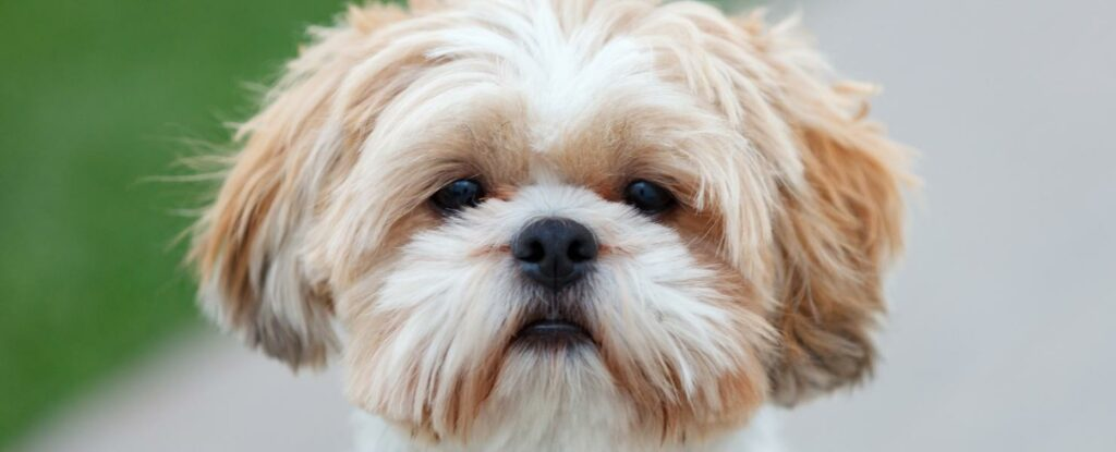 shih tzus are one of the best dogs for older adults