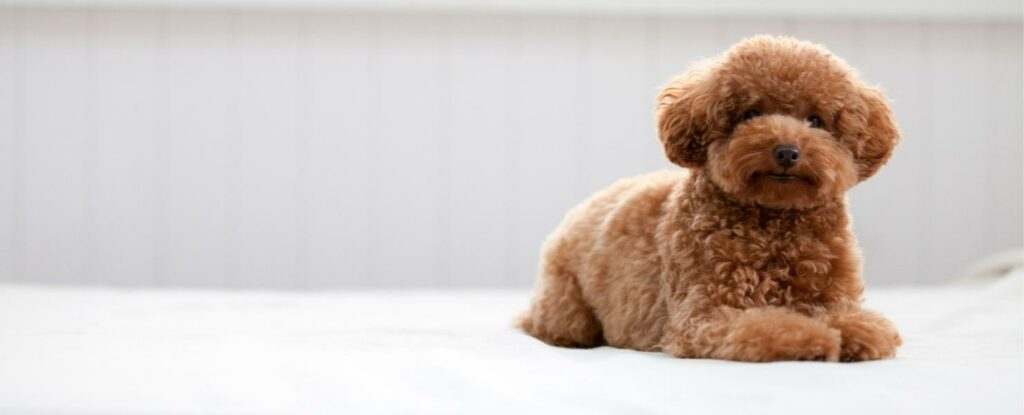 toy poodles are more than cute, they are great companions for older adults